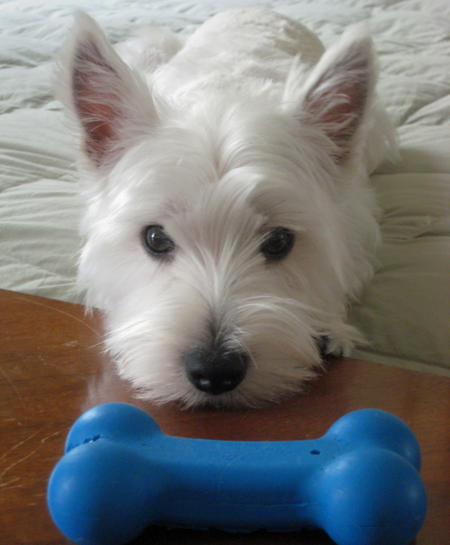 Powder the West Highland Terrier Pictures 590590