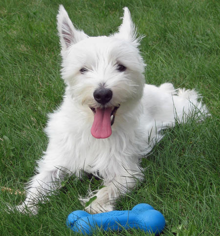 Powder the West Highland Terrier Pictures 590594