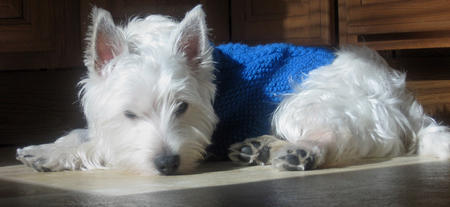 Powder the West Highland Terrier Pictures 590589
