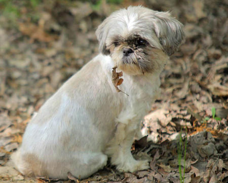 Precious the Shih Tzu Pictures 1040540