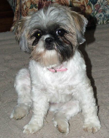 Precious the Shih Tzu Pictures 1040541
