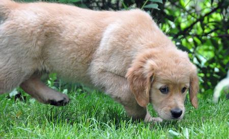 Presley the Golden Retriever Pictures 649263