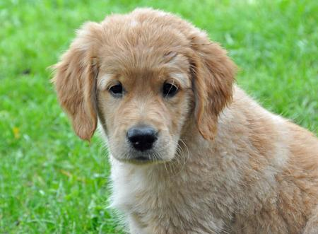 Presley the Golden Retriever Pictures 649267
