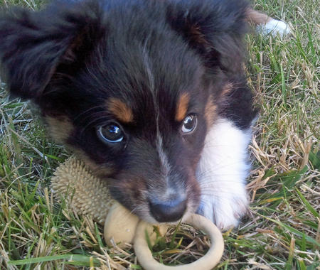 Presso the Australian Shepherd Pictures 857048
