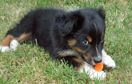 Presso the Australian Shepherd Pictures 857049