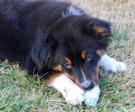 Presso the Australian Shepherd Pictures 857052