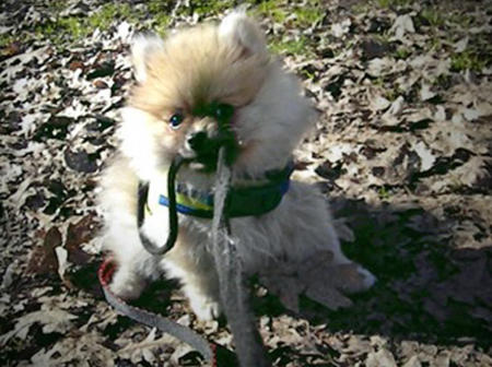 Prince Pippin the Pomeranian Pictures 1036423