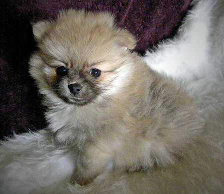Prince Pippin the Pomeranian Pictures 1036424