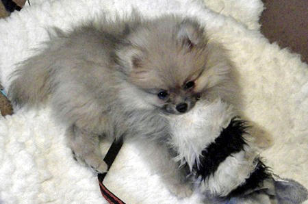 Prince Pippin the Pomeranian Pictures 1036425