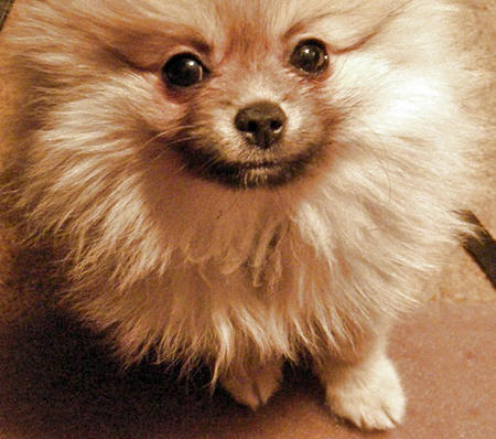 Prince Pippin the Pomeranian Pictures 1036426