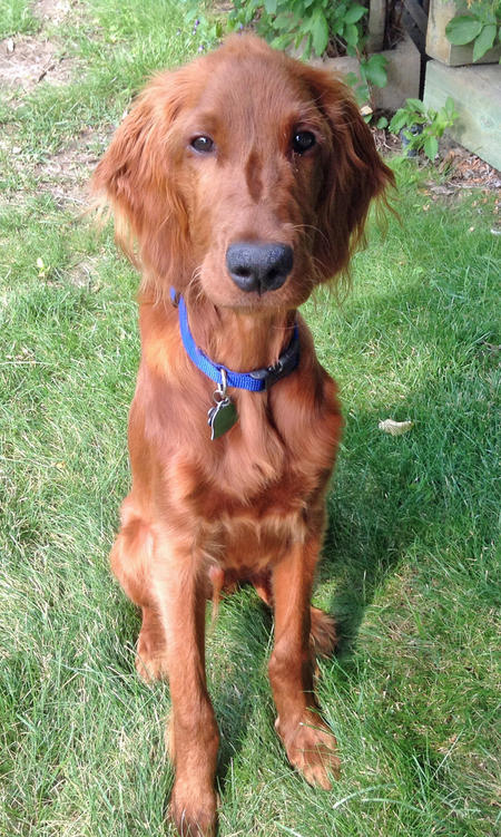 Prince the Irish Setter Pictures 1043425