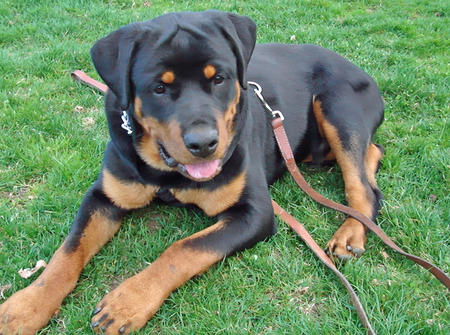 Prince the Rottweiler Pictures 1048935