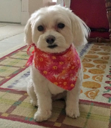 Princess Cuddles the Maltese Pictures 1024805