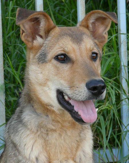 Priscilla the Adoptable Shepherd Mix Pictures 735987