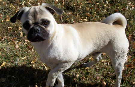 Pugsey the Pug Pictures 738152