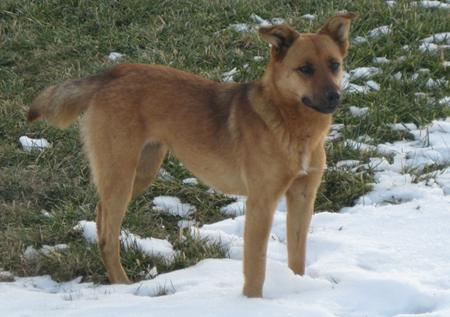 Pumpkin the Shepherd Mix Pictures 497623