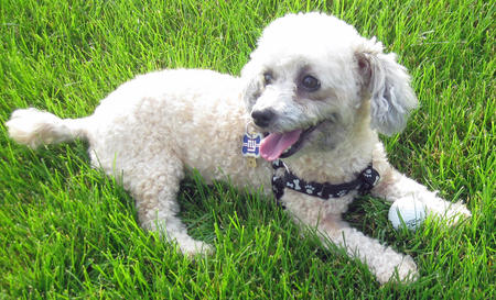 Pumpkin the Toy Poodle Pictures 970982