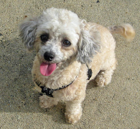 Pumpkin the Toy Poodle Pictures 970983