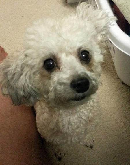 Pumpkin the Toy Poodle Pictures 970984