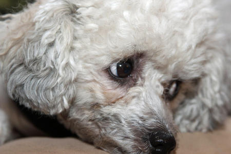 Pumpkin the Toy Poodle Pictures 970985