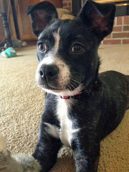 Punc the Boston Terrier Mix Pictures 1003024