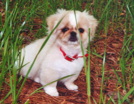 Punky the Pekingese Pictures 982810