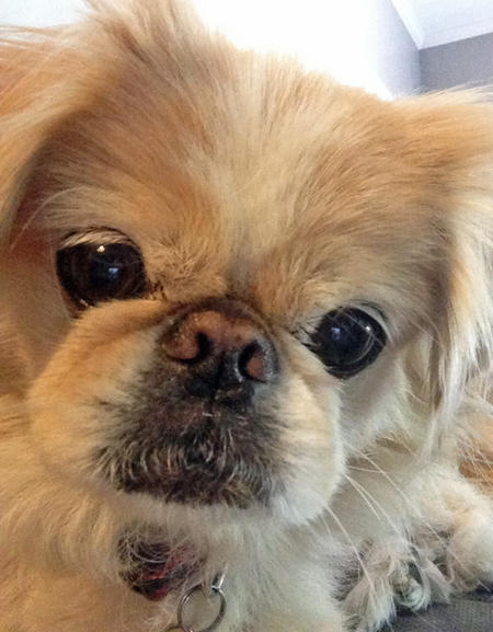 Punky the Pekingese Pictures 982809