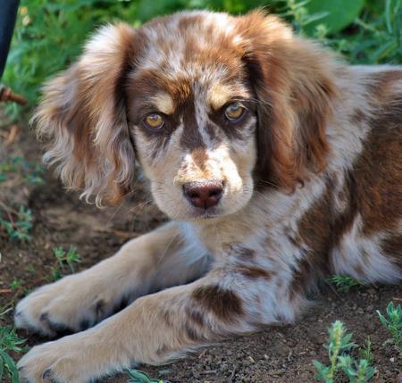 Queen the Australian Shepherd Mix Pictures 831094