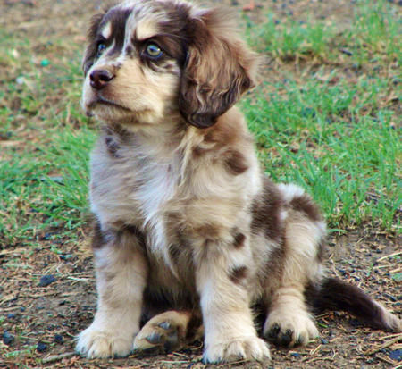Queen the Australian Shepherd Mix Pictures 831097