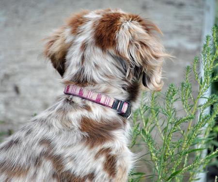 Queen the Australian Shepherd Mix Pictures 831098