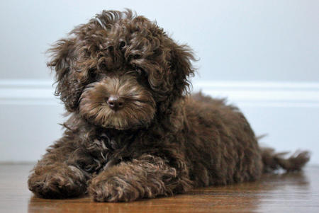 Quimby the Labradoodle Pictures 1025038