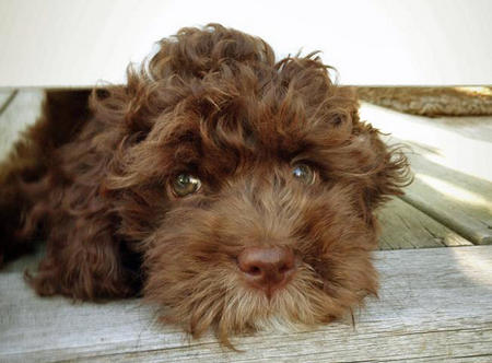 Quimby the Labradoodle Pictures 1025040