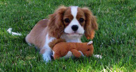 Quinn the Cavalier King Charles Spaniel Pictures 1048982