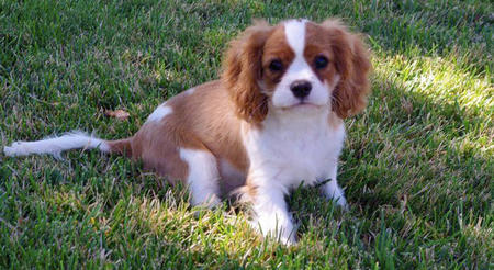 Quinn the Cavalier King Charles Spaniel Pictures 1048983