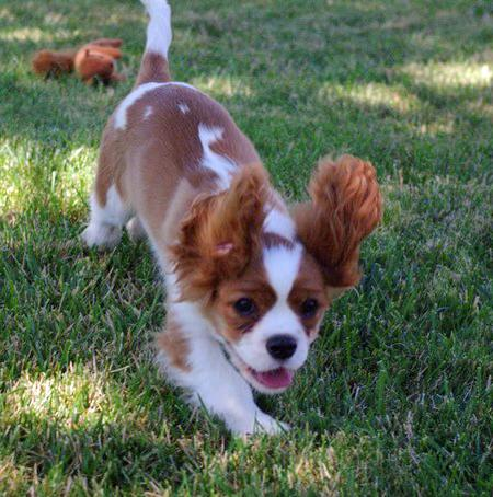 Quinn the Cavalier King Charles Spaniel Pictures 1048984