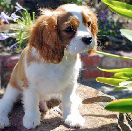 Quinn the Cavalier King Charles Spaniel Pictures 1048985