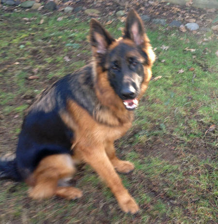 Quintus the German Shepherd Pictures 960600