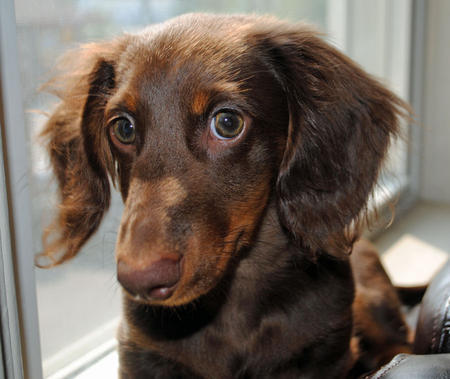 Radar the Dachshund Pictures 1031265