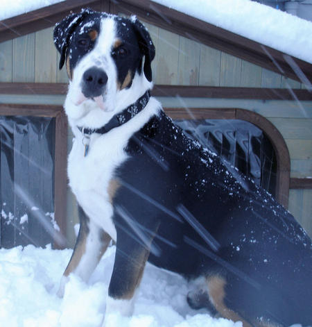 Radley the Greater Swiss Mountain Dog Pictures 504137
