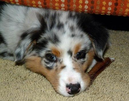 Ralphie the Australian Shepherd Pictures 976632