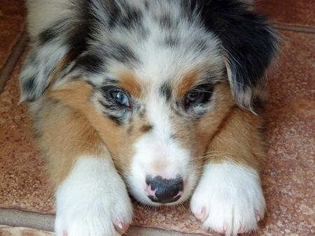 Ralphie the Australian Shepherd Pictures 976629
