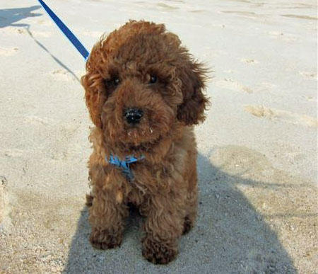 Ralphy the Miniature Poodle Pictures 940676
