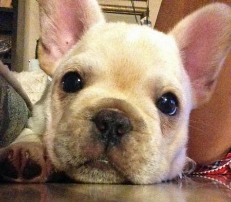 Rambo the French Bulldog Pictures 977773