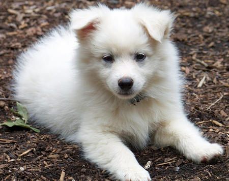 Ranger the American Eskimo Dog Pictures 660183