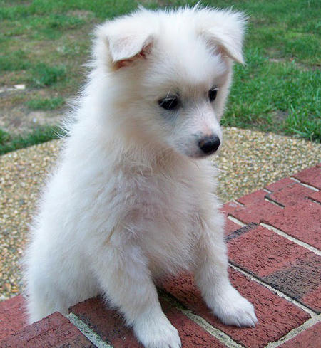 Ranger the American Eskimo Dog Pictures 660184