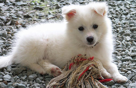 Ranger the American Eskimo Dog Pictures 660186