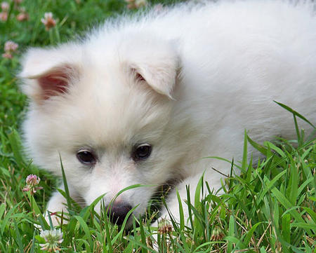Ranger the American Eskimo Dog Pictures 660188
