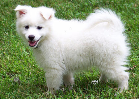 Ranger the American Eskimo Dog Pictures 660190