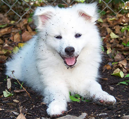 Ranger the American Eskimo Dog Pictures 660191