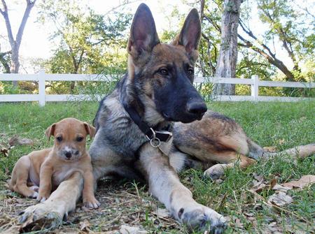 Ranger the German Shepherd Pictures 667116